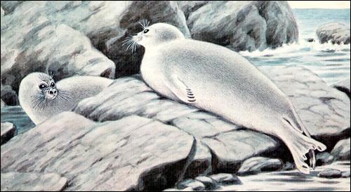 Байкальский тюлень, байкальская нерпа (Pusa sibirica). Рисунок, картинка ластоногие животные