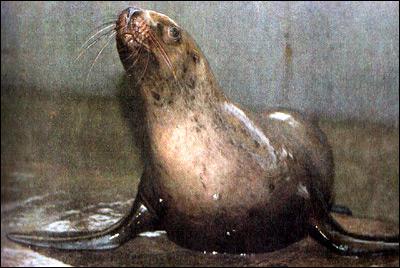 Морской лев. Фото, фотография картинка ластоногие животные