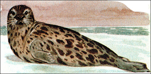 Хохлач - самка (Cystophora cristata). Рисунок, картинка ластоногие животные