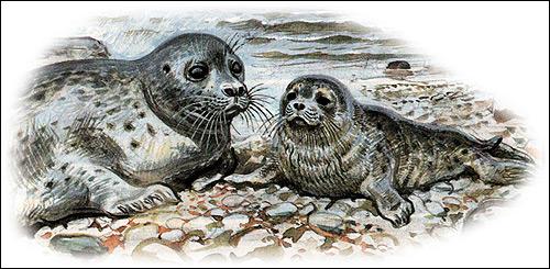 Длинномордый тюлень, серый тюлень (Halichoerus grypus). Картинка, рисунок ластоногие животные