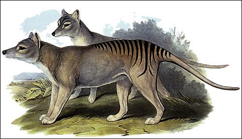 Сумчатый волк, тасманийский волк (Thylacinus cynocephalus). Рисунок, картинка сумчатые животные
