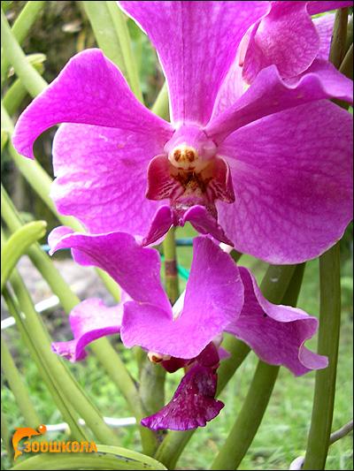 Цветок орхидеи. Парк орхидей о. Бали. Фото, фотография картинка