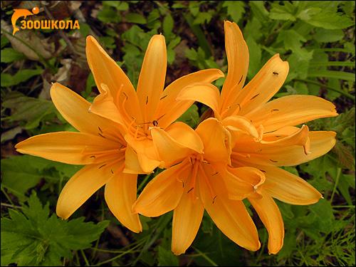 Желтые саранки. Фото, фотография картинка цветы