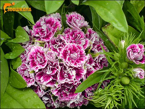 Турецкая гвоздика (Dianthus barbatus). Фото, фотография картинка цветы