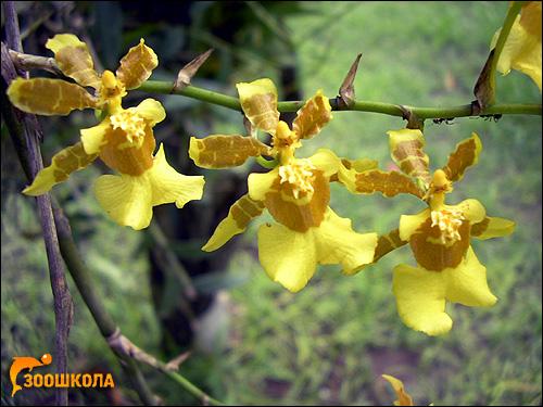 Желтая орхидея. Парк орхидей о. Бали. Фото, фотография картинка цветы