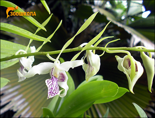 Орхидея. Парк орхидей о. Бали. Фото, фотография картинка цветы