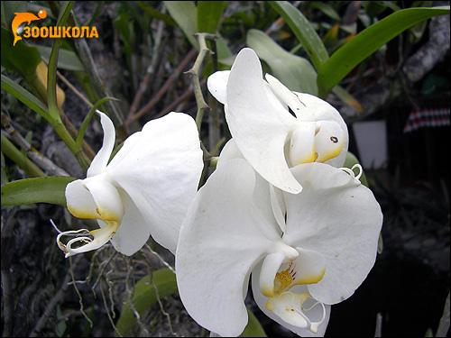 Белые орхидеи. Парк орхидей о. Бали. Фото, фотография цветы
