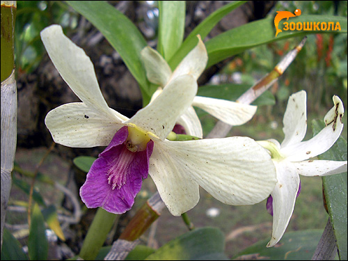 Орхидея. Парк орхидей о. Бали. Фото, фотография цветы