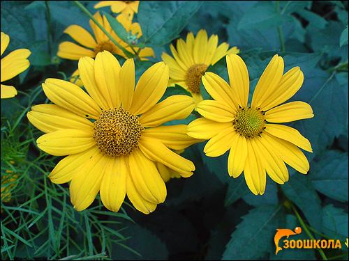 Желтые цветы. Фото, фотография цветы