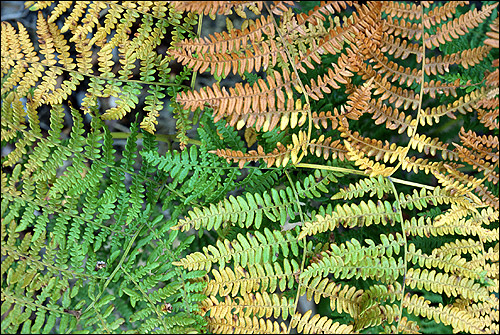 Листья папоротников. Фото, фотография