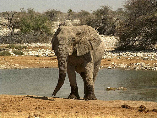 Африканский слон (Loxodonta africana). Фото, фотография