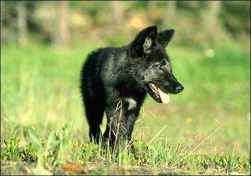 Черный волчонок. Фото, фотография хищные животные