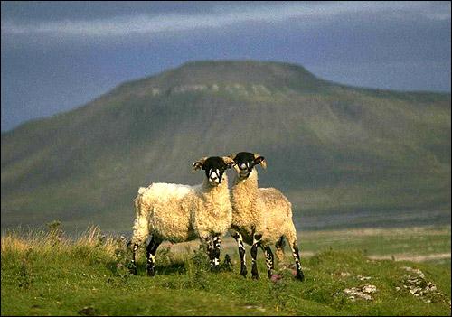Черноголовые овцы на фоне гор. Фото, фотография