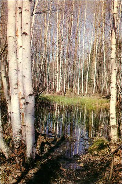 Березовый лес. Фото, фотография