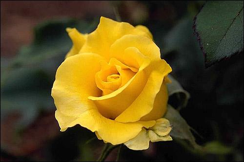Жёлтая роза. Фото, фотография