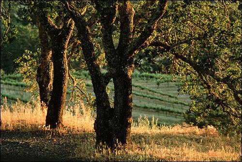 Дерево, на заднем фоне поля. Фото, фотография