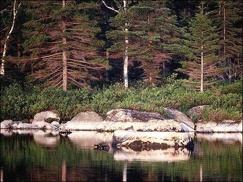 Хвойный лес. Берег. Фото, фотография