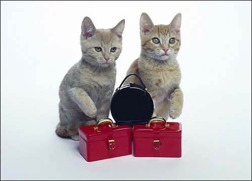 Два бело-рыжих котенка. Фото, фотография картинка кошки