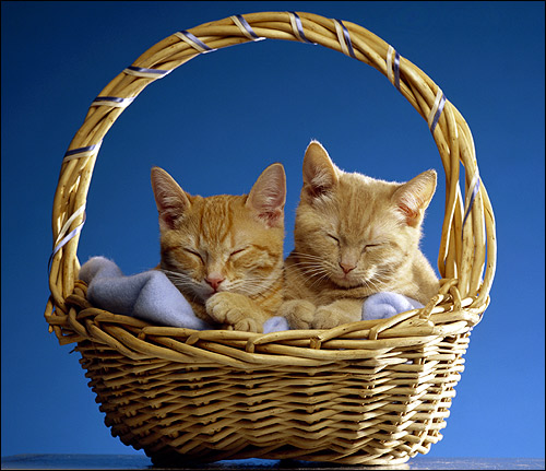 Две рыжие киски (кошки) спят в плетенной корзине. Фото, фотография картинка животные
