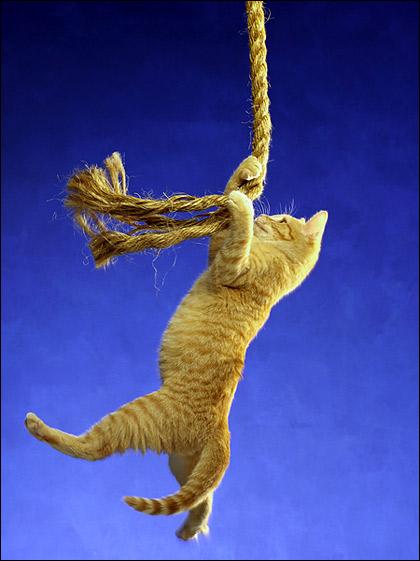Рыжий котенок висит на веревке, зацепившись за нее когтями. Фото, фотография картинка кошки