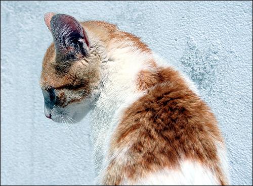 Бело-рыжий кот на сером фоне. Фото, фотография картинка кошки