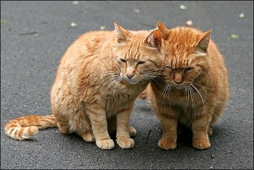Рыжие кошки сидят на асфальте. Кошки прижались друг к другу. Это любовь! Фото, фотография