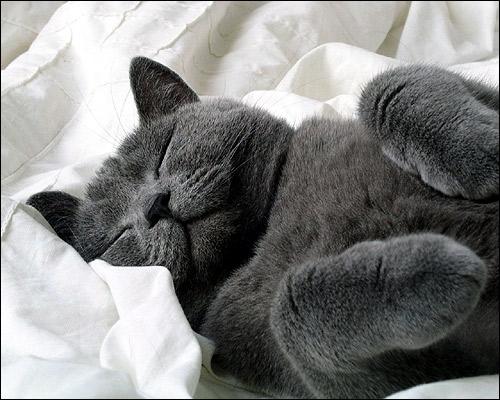 Русская голубая (или британская короткошерстная) кошка спит на спине. Фото, фотография картинка животные