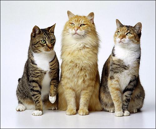 Восточноевропейские короткошерстные кошки (ЕКШ). Фото, фотография породы кошек