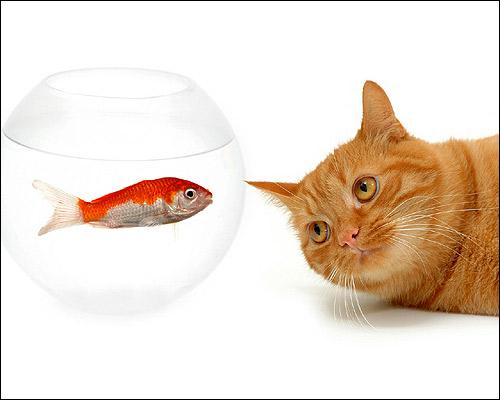 Рыжий кот смотрит на аквариум с золотой рыбкой. Фото, фотография картинка кошки