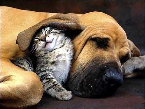 Котенок прячется под ухом спящего бладхаунда. Фото, фотография картинка животные