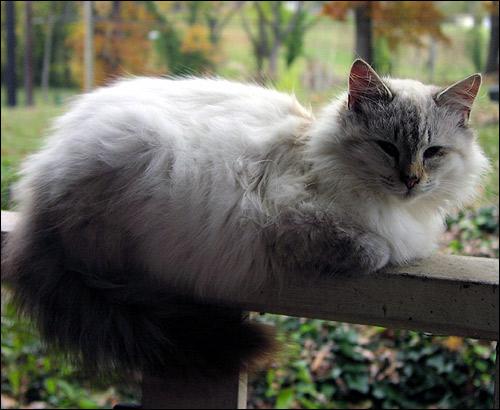 Пушистый кот лежит на деревянных перилах. Фото, фотография картинка
