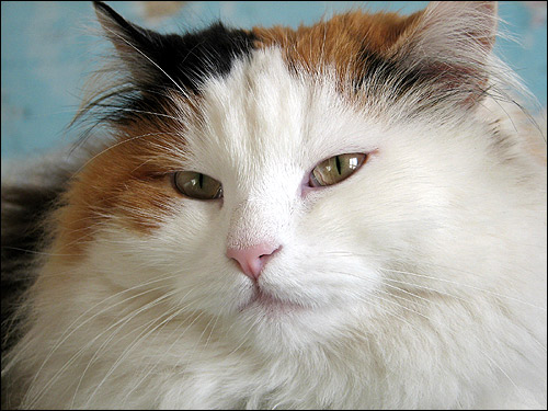 Длинношерстная кошка, Фото, фотография картинка