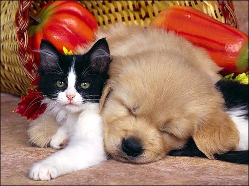 Черно-белый котенок и спящий щенок. Фото, фотография картинка животные
