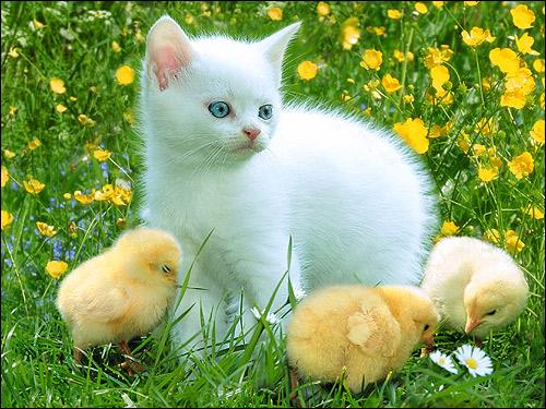 Белый котенок и цыплята на зеленой травке. Фото, фотография картинка кошки