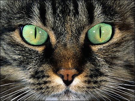 Морда кошки крупным планом - дикий окрас (агути), зеленые глаза. Фото, фотография картинка животные