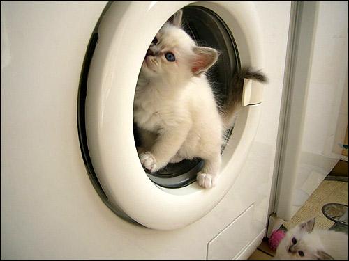 Котенок забравшийся в стиральную машинку. Фото, фотография картинка кошки