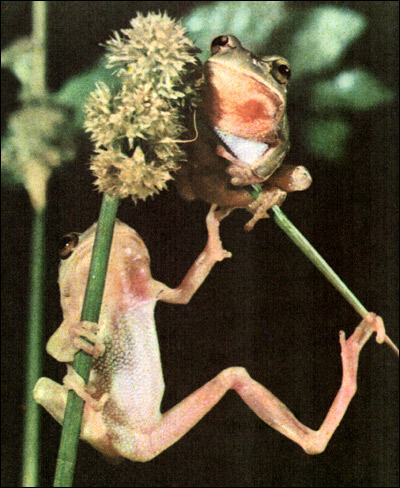 Травяная лягушка, обыкновенная лягушка (Rana temporaria). Фото, фотография амфибии