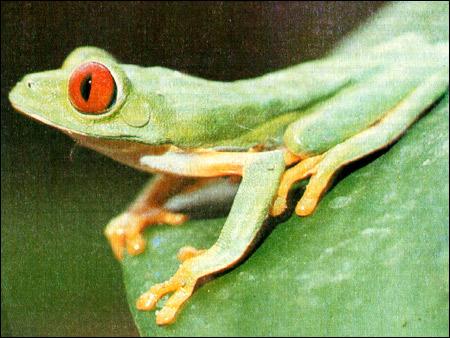 Квакша красноглазая (Agalychnis callidryas). Фото, фотография