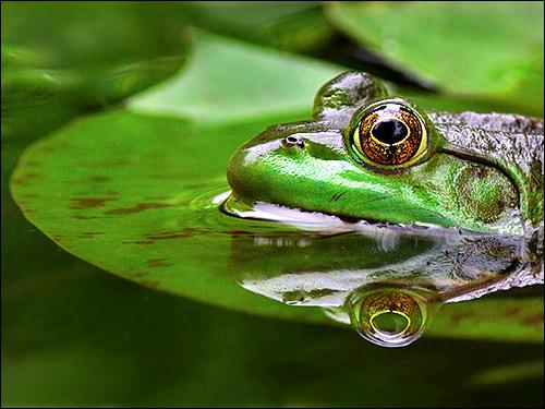 Лягушка в воде. Фото, фотография амфибии
