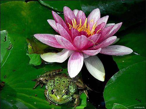 Лягушка на цветущей кувшинке. Фото, фотография