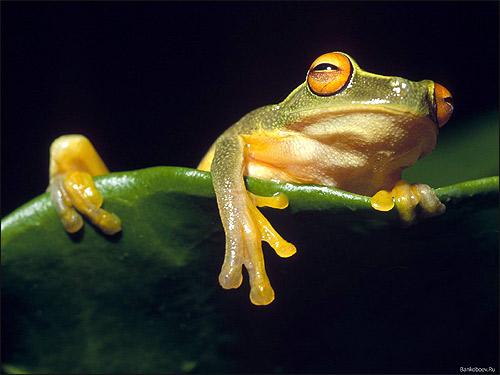Квакша. Фото, фотография лягушка картинка