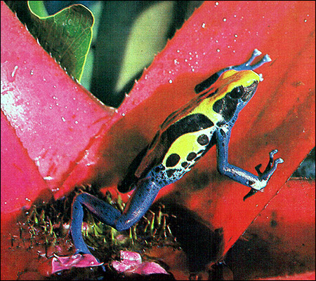 Пятнистый древолаз (Dendrobates tinctorius). Фото, фотография амфибии картинка