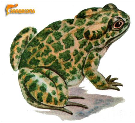 Зеленая жаба (Bufo viridis). Рисунок, картинка