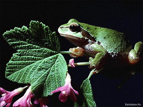 Лягушка на цветке. Фото, фотография