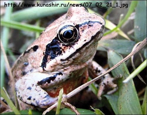 Дальневосточная лягушка (Rana semiplicata). Фото, фотография