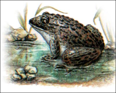 Кавказская крестовка (Pelodytes caucasicus) самец. Рисунок, картинка амфибии