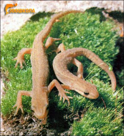 Обыкновенный тритон (Triturus vulgaris). Фото, фотография
