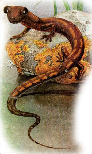Кавказская саламандра (Mertensiella caucasica). Рисунок, картинка