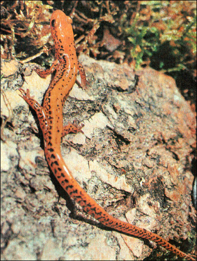 Длиннохвостая ручьевая саламандра (Eurycea longicauda). Фото, фотография хвостатые амфибии