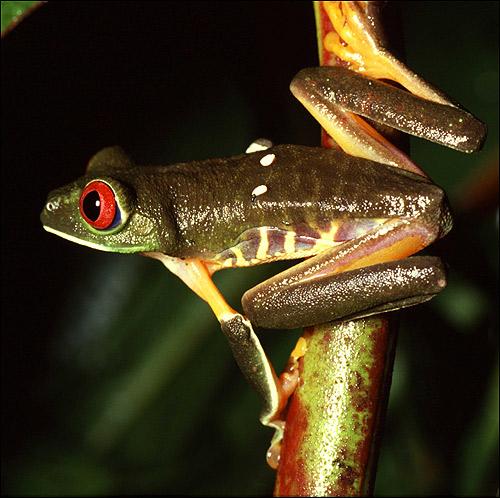 Красноглазая квакша (Agalychnis callidryas). Фото, фотография картинка